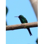 Cozumel Emerald, endemic to Cozumel Island. Photo by Rick Taylor. Copyright Borderland Tours. All rights reserved.
