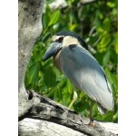 Boat-billed Heron. Photo by Rick Taylor. Copyright Borderland Tours. All rights reserved.