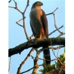 Bicolored Hawk. Photo by Rick Taylor. Copyright Borderland Tours. All rights reserved.