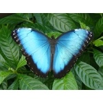Blue Morpho. Photo by James Adams, copyright The Lodge at Pico Bonito. All rights reserved.