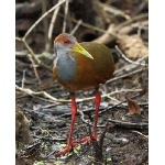 Gray-necked Wood Rail. Photo by James Adams, copyright The Lodge at Pico Bonito. All rights reserved.