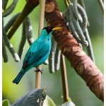 Green Honeycreeper. Photo by James Adams, copyright The Lodge at Pico Bonito. All rights reserved.