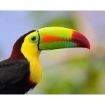 Keel-billed Toucan portrait. Photo by James Adams, copyright The Lodge at Pico Bonito. All rights reserved.