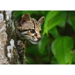 Margay. Photo by James Adams, copyright The Lodge at Pico Bonito. All rights reserved.