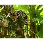 Margay sleeping. Photo by James Adams, copyright The Lodge at Pico Bonito. All rights reserved.