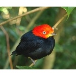 Red-capped Manakin. Photo by James Adams, copyright The Lodge at Pico Bonito. All rights reserved.