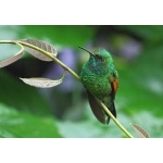 Stripe-tailed Hummingbird. Photo by James Adams, copyright The Lodge at Pico Bonito. All rights reserved.