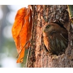 Ferruginous Pygmy-Owl. Photo by James Adams, copyright The Lodge at Pico Bonito. All rights reserved.