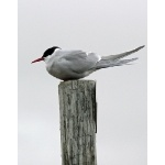 Arctic Tern. Photo by Rick Taylor. Copyright Borderland Tours. All rights reserved.