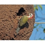Cuban Green Woodpecker. Photo by C. Allan Morgan. All rights reserved.