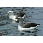 White-capped and Salvin's Albatrosses. Photo by Rick Taylor. Copyright Borderland Tours. All rights reserved.