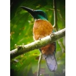 Great Jacamar. Photo by Rick Taylor. Copyright Borderland Tours. All rights reserved.