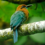 Broad-billed Motmot. Photo by Rick Taylor. Copyright Borderland Tours. All rights reserved.