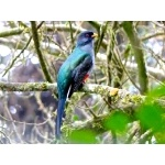 Hispaniolan Trogon. Photo by Rick Taylor. Copyright Borderland Tours. All rights reserved.