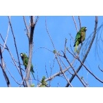 Olive-throated Parakeets. Photo by Rick Taylor. Copyright Borderland Tours. All rights reserved.