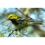 Black-throated Green Warbler. Photo by Rick Taylor. Copyright Borderland Tours. All rights reserved.