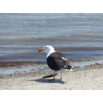 Great Black-backed Gull. Photo by Rick Taylor. Copyright Borderland Tours. All rights reserved.