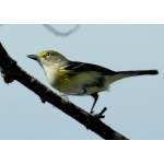White-eyed Vireo. Photo by Rick Taylor. Copyright Borderland Tours. All rights reserved.