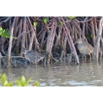 Clapper Rails. Photo by Rick Taylor. Copyright Borderland Tours. All rights reserved.