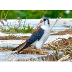 American Kestrel, Cuban form. Photo by Rick Taylor. Copyright Borderland Tours. All rights reserved.