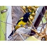 Bahama Oriole. Photo by Rick Taylor. Copyright Borderland Tours. All rights reserved.