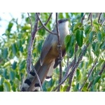 Giant Lizard-Cuckoo. Photo by Rick Taylor. Copyright Borderland Tours. All rights reserved.