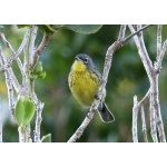 Kirtland's Warbler. Photo by Rick Taylor. Copyright Borderland Tours. All rights reserved.