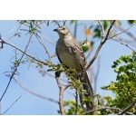 Bahama Mockingbird singing. Photo by Rick Taylor. Copyright Borderland Tours. All rights reserved.