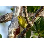 Yellow Warbler, golden form, Andros. Photo by Rick Taylor. Copyright Borderland Tours. All rights reserved.