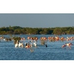 American Flamingos & White Pelicans at Las Salinas. Photo by Rick Taylor. Copyright Borderland Tours. All rights reserved.