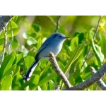 Cuban Gnatcatcher. Photo by Rick Taylor. Copyright Borderland Tours. All rights reserved.