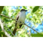 La Sagra's Flycatcher on Cayo Coco. Photo by Rick Taylor. Copyright Borderland Tours. All rights reserved.