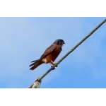 American Kestrel, Caribbean rufous morph. Photo by Rick Taylor. Copyright Borderland Tours. All rights reserved.
