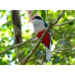 Cuban Trogon. Photo by Rick Taylor. Copyright Borderland Tours. All rights reserved.