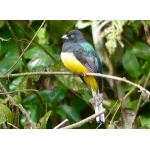 Citreoline Trogon. Photo by Rick Taylor. Copyright Borderland Tours. All rights reserved.