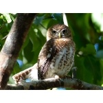 Another Cuban Pygmy-Owl. Photo by Rick Taylor. Copyright Borderland Tours. All rights reserved.