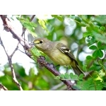 Thick-billed Vireo. Photo by John Yerger  All rights reserved.