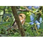 Ferruginous Pygmy-Owl. Photo by John Hoffman. All rights reserved.