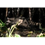 Mexican Raccoon in the mangroves. Photo by Rick Taylor. Copyright Borderland Tours. All rights reserved.