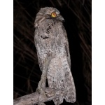 Northern Potoo. Photo by Rick Taylor. Copyright Borderland Tours. All rights reserved.