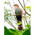 Squirrel Cuckoo. Photo by Rick Taylor. Copyright Borderland Tours. All rights reserved.