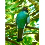 Elegant Trogon. Photo by Rick Taylor. Copyright Borderland Tours. All rights reserved.