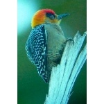 Golden-cheeked Woodpecker. Photo by Ollie Oliver. All rights reserved.