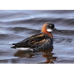 Red-necked Phalarope. Photo by Gaukur Hjartarson.  All rights reserved.