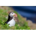 Atlantic Puffin. Photo by Gaukur Hjartarson. All rights reserved.