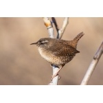 Eurasian Wren. Photo by Gaukur Hjartarson. All rights reserved.
