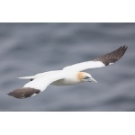 Northern Gannet in flight. Photo by Gaukur Hjartarson. All rights reserved.