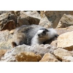 Hoary Marmot. Photo by Rick Taylor. Copyright Borderland Tours. All rights reserved.