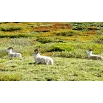 Dall Sheep. Photo by Rick Taylor. Copyright Borderland Tours. All rights reserved.