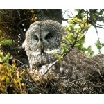 Great Gray Owl. Photo by Rick Taylor. Copyright Borderland Tours. All rights reserved.